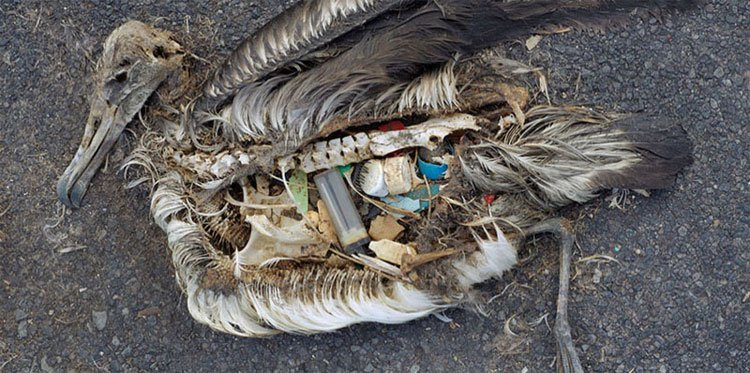 albatros-plastico-estomago1