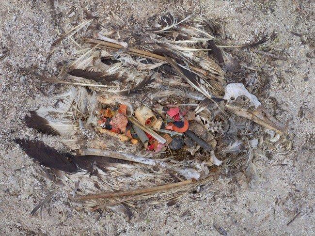 albatros-plastico-estomago3