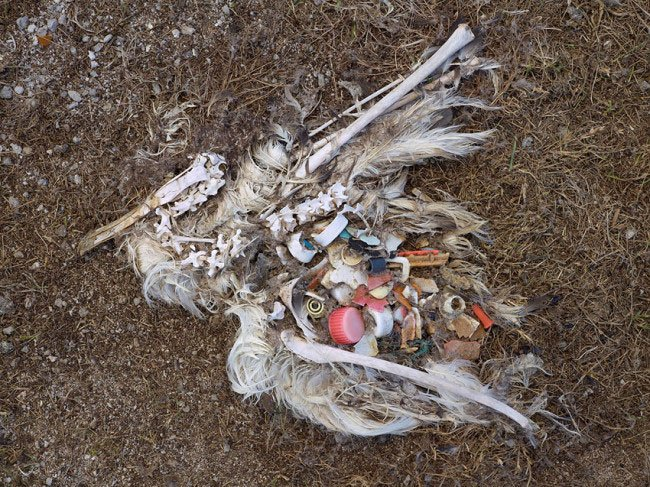 albatros-plastico-estomago4