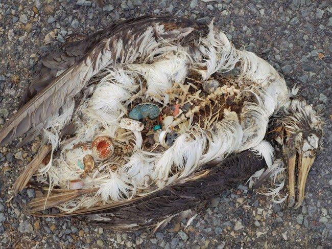 albatros-plastico-estomago5