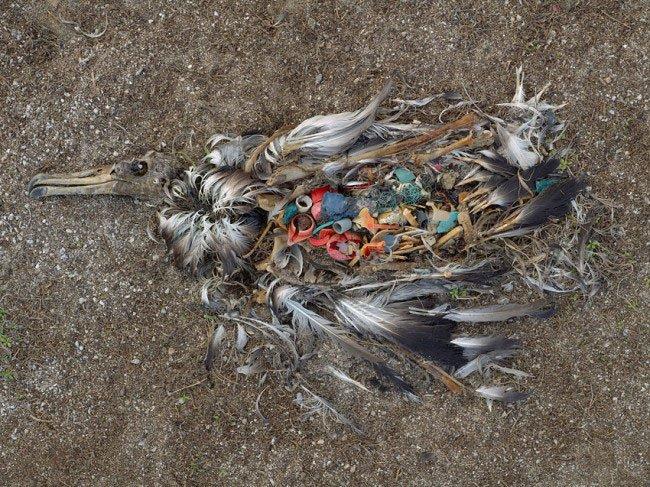 albatros-plastico-estomago7