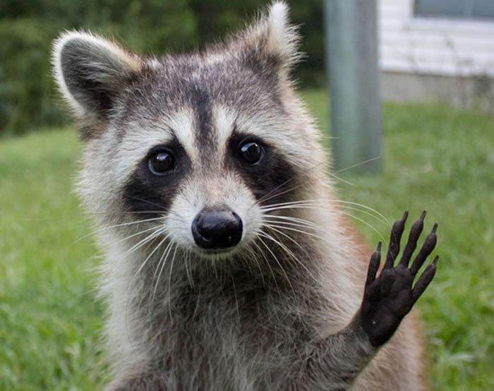mapache-saludando-3