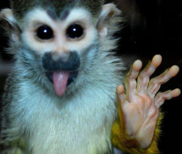mapache-saludando
