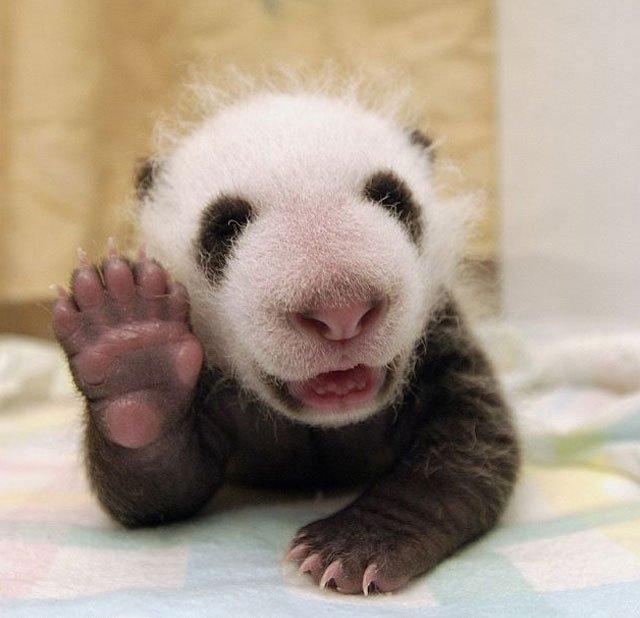 oso-panda-saludando