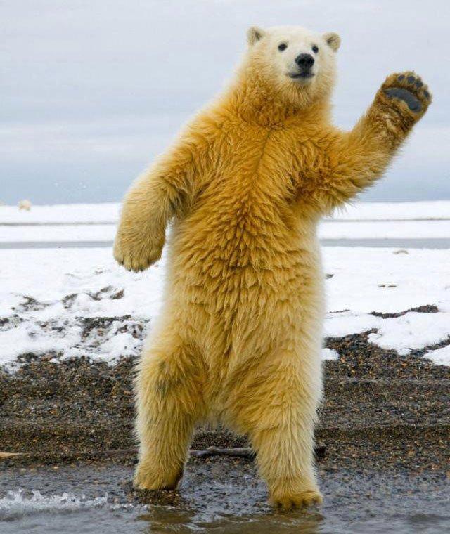 oso-polar-saludando