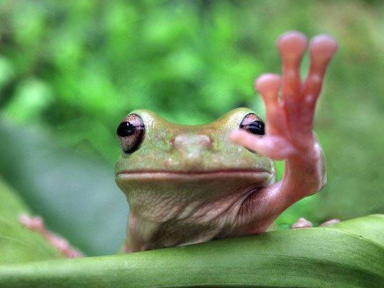 rana-saludando