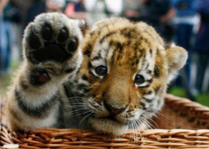 tigre-saludando