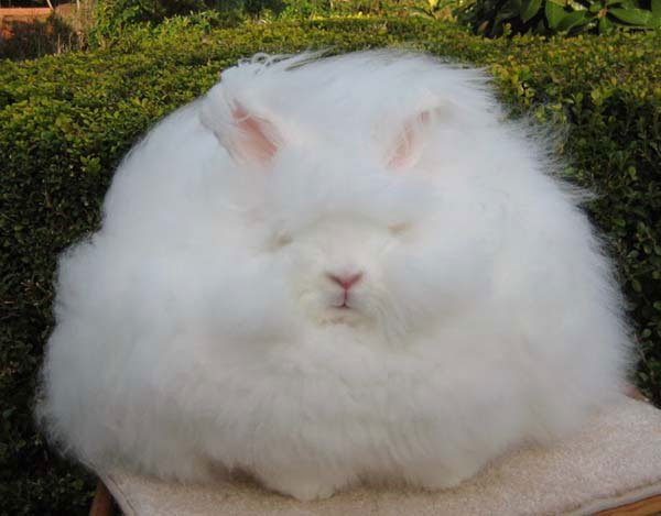 conejo-angora3