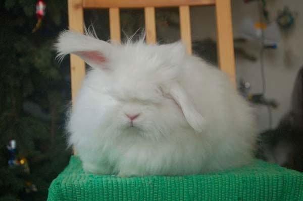 conejo-angora4