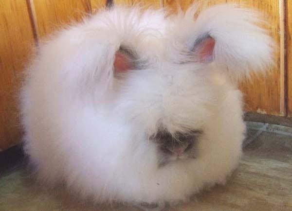conejo-angora5