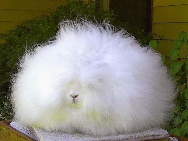 conejo-angora6