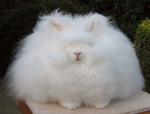 conejo-angora7