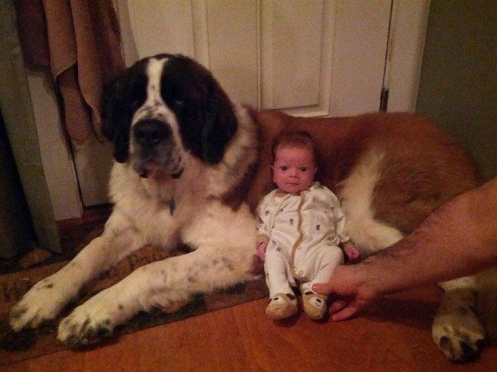 perros-grandes-bebes12