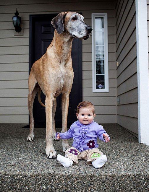 perros-grandes-bebes19