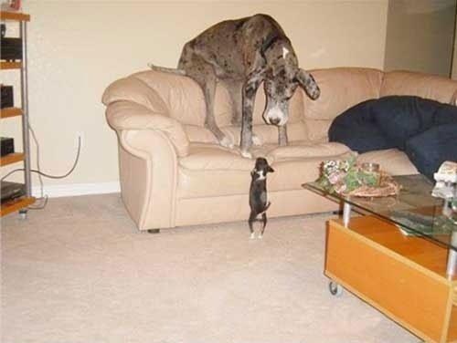 perros-grandes10