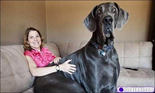 perros-grandes12