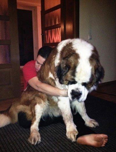 perros-grandes16