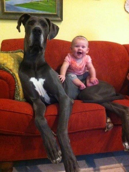 perros-grandes4