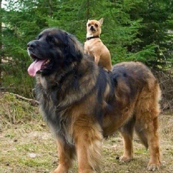 perros-grandes7