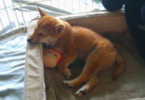 perros-muy-cansados8