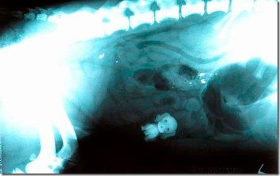 radiografia-mascotas16