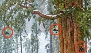 árbol mas grande del mundo