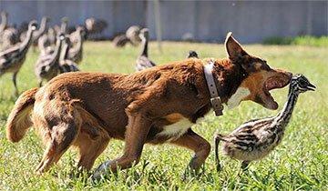 Conoce a Chip, el perro pastor más adorable y trabajador que verás en Australia.