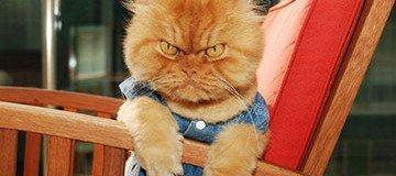 Conoce a Garfi el gato persa que está enfadado con el mundo entero.