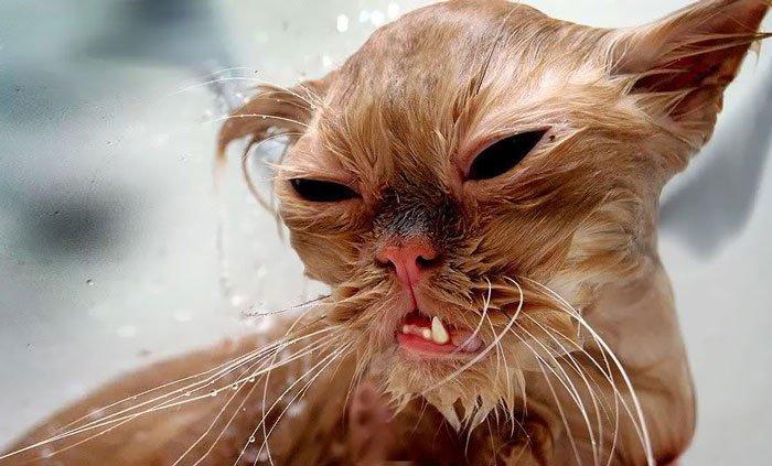 gato-mojado19