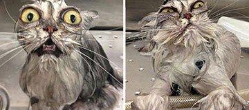 22 Gatos que después de un baño, marcan una nueva tendencia de belleza