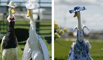 Estos son los patos más elegantes que has visto nunca. ¡Tienen modista!