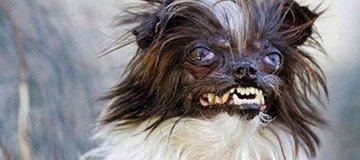 Conoce a Peanut, el perro más feo del mundo