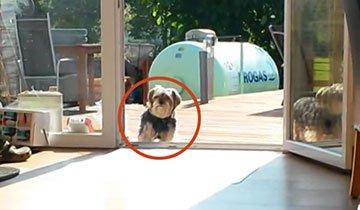 Este perro no sabe como funciona la puerta del patio. ¡Muy Bueno!