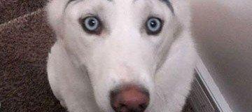 Si un perro es adorable, con cejas, es irresistible. Créeme