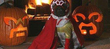 14 Pugs que este año están deseando que no se celebre Hallowen