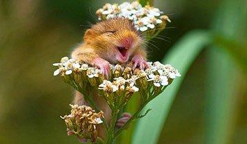 Estos pequeños ratones silvestres son tan hermosos que les abrirías la puerta de tu casa