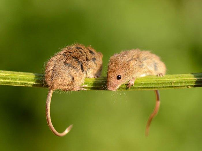 ratones-salvajes10