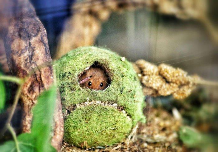 ratones-salvajes11