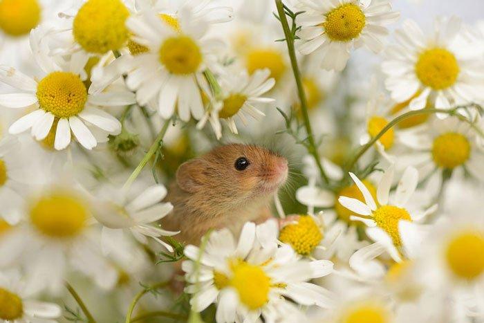 ratones-salvajes12