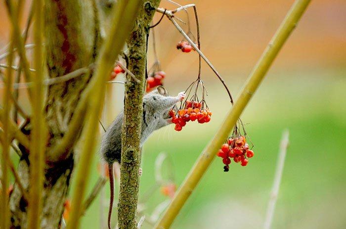 ratones-salvajes13