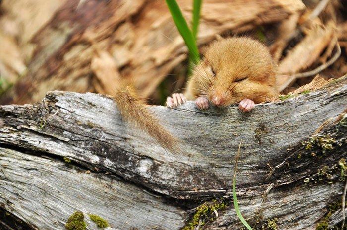 ratones-salvajes14
