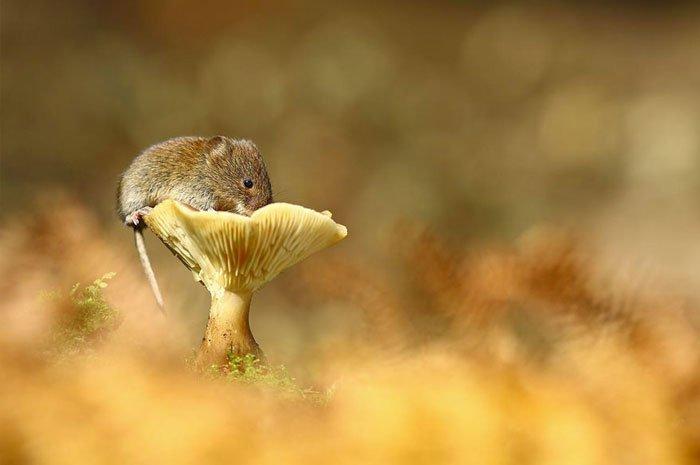 ratones-salvajes15