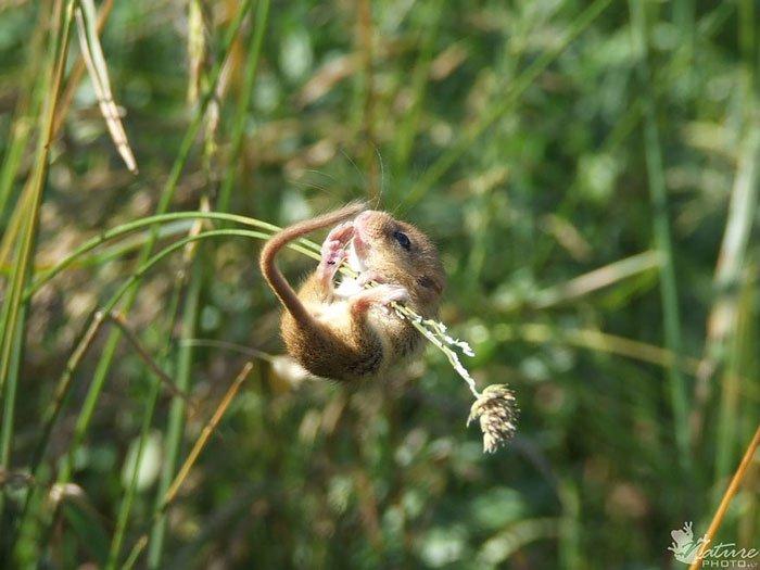 ratones-salvajes17