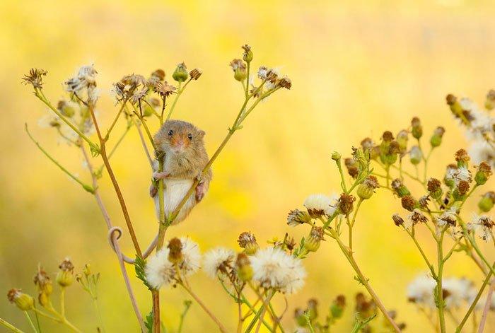 ratones-salvajes18