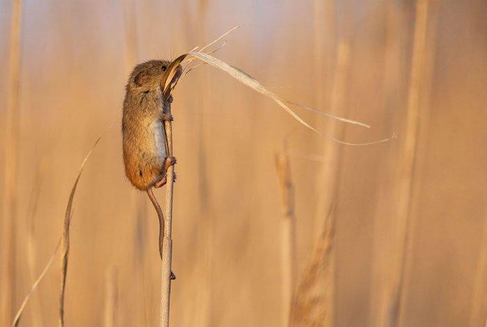 ratones-salvajes2