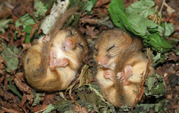 ratones-salvajes3