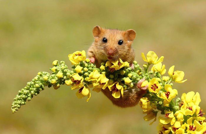 ratones-salvajes5