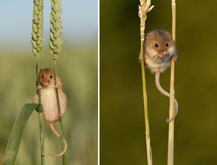 ratones-salvajes6