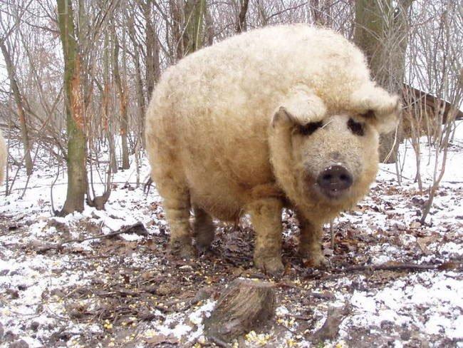 animal-peludo15
