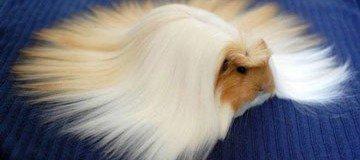15 Animales peludos cuyo pelo majestuoso te provocará envidia sana. Son magníficos.